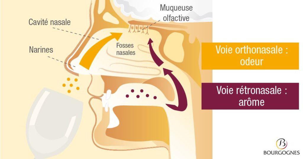 Schéma du principe de la rétro-olfaction (BIVB, Ecole des vins de Bourgogne)
